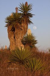 Yuccas and full moon near the mouth of the Rio Grande, Texas