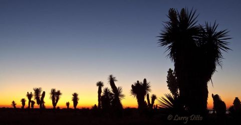 Yuccas at sunset near the mouth of the Rio Grande, Texas