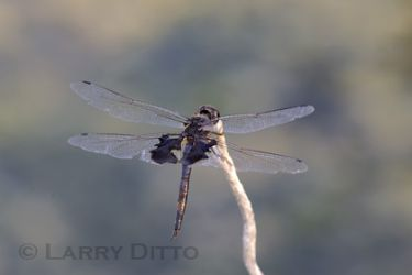 black-saddlebags_larry-ditto