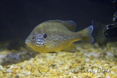 Bluegill Sunfish_x0z9853