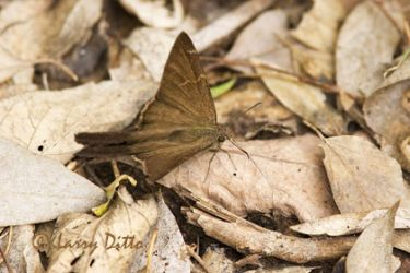 brown-skipper_larry-ditto_m