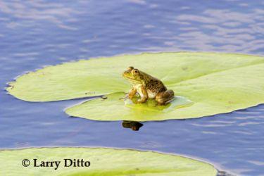 bull frog_lrd1325