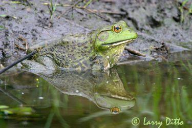 bull frog_lrd1437