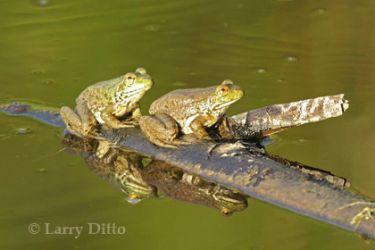 bull-frog_lrd1622