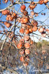common-persimmon2larry-dit