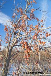 common-persimmonlarry-ditt