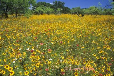 coreopsis_and_firewheel_Larry_Ditto