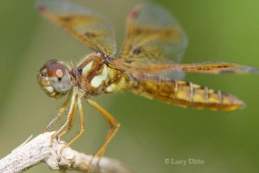 eastern-amberwing_Larry_Ditto_2406