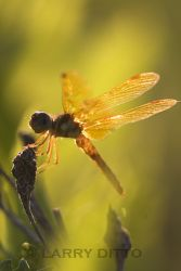 eastern-amberwing_larry-ditto