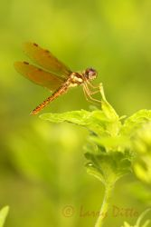Eastern Amberwing dragonfly (Perethemis terneria) perched, s. Texas, autumn