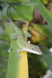 green-anole_Larry_Ditto_2070