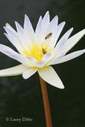 honey-bee_larry_ditto_1460