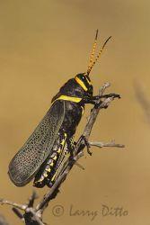 Horse Lubber Grasshopper, Big Bend National Park, Texas, autumn