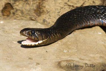 indigo_snake_larry_ditto_x0z0164