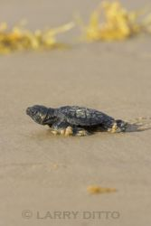 kemps-ridley-sea-turtle_Larry_Ditto