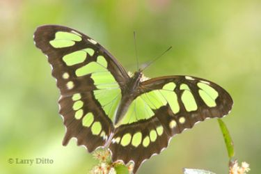 malachite-butterfly_Larry_Ditto_0327
