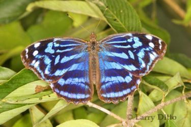 mexican-bluewing-butterfly_Larry_Ditto