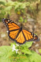 monarch-butterfly_Larry_Ditto_2420