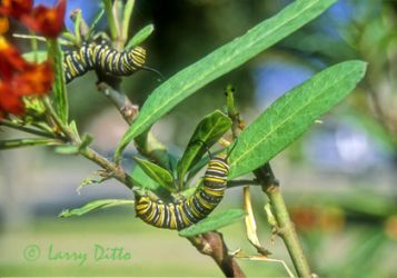 monarch-caterpillars-2_larry_ditto