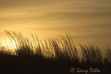 prairie_grass_at_sunrise_Larry_Ditto
