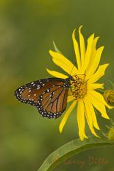 Queen (Danaus gilippus) nectoring on sunflower, October, s. Texas