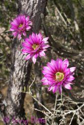 rat-tail-cactus_larry-ditto