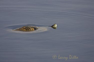 red-eared-turtle_larry-ditto