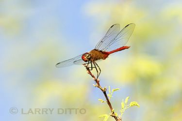 red-tailed-pennant_larry-ditto