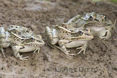rio-grande-leopard-frog