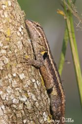 rose-bellied-lizard_larry-ditto