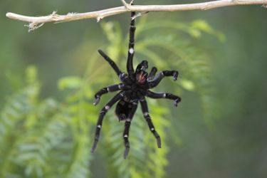 Tarantula, s. Texas, hanging from limb as it prepared to drop into thick cover