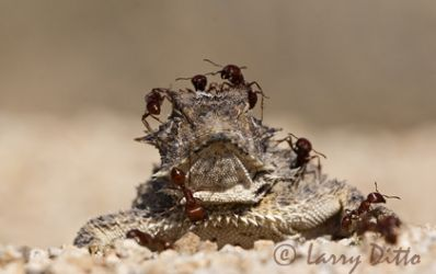texas_horned_lizard_Larry_Ditto_2890