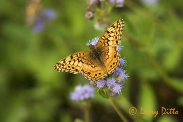 variegated-fritillary_larry_ditto