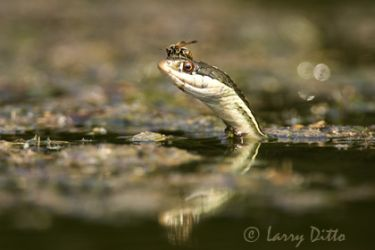 ribbon-snake_larry-ditto_x0