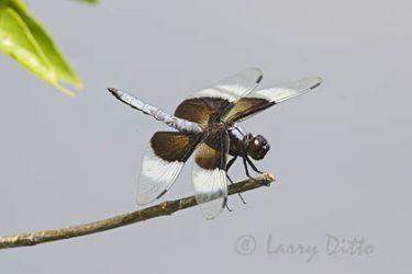 Widow Skimmer (Libellula luctuosa), male, June, Oklahoma