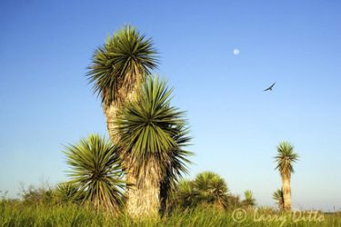 yucca--moon-2larry-ditto