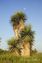 yucca--moonlarry-dittox0