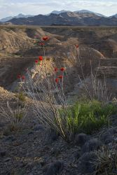 Ocotillo and canyon in Big Bend National Park, Texas