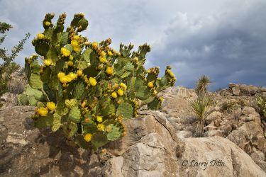 Prickly Pear Cactus, Big Bend National Park, Texas