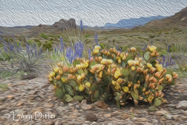 Big Bend National Park in bloom; bluebonnets and prickly pear cactus