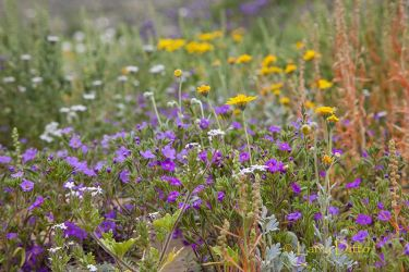 Wildflowers on Dog Canyon Trail, Big Bend National Park, Texas