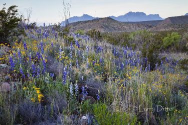 wildflowers and Chisos Mountains at Big Bend national park