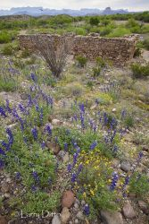 Big_Bend_Wildflowers_MG_6940